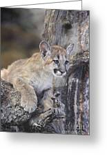 Mountain Lion Cub On Tree Branch Greeting Card