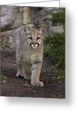 Mountain Lion Cub Walking Greeting Card