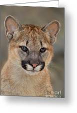 Mountain Lion Felis Concolor Captive Wildlife Rescue Greeting Card