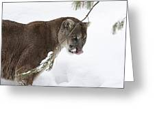Mountain Lion In A Snow Covered Pine Forest Greeting Card