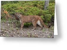Mountain Lion Greeting Card
