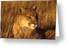 Mountain Lion Montana Greeting Card