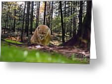 Mountain Lion Stalking Greeting Card