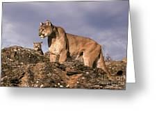 Mountain Lions Felis Concolor Greeting Card