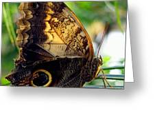 Mournful Owl Butterfly In Sunlight Greeting Card