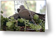 Mourning Dove Feeding Baby Dove Greeting Card