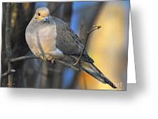 Mourning Dove On Limb Greeting Card