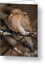Mourning Dove Pictures 32 Greeting Card