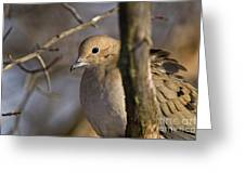 Mourning Dove Pictures 39 Greeting Card
