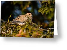 Mourning Dove Pictures 64 Greeting Card