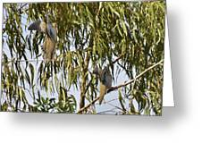 Mourning Doves Landing In Eucalyptus  Greeting Card