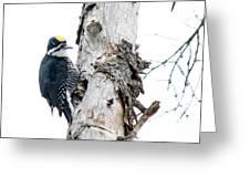 Mr. Black-bscked Woodpecker Greeting Card