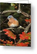 Mr Bluebird Greeting Card