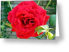 Mr Lincoln Rose Greeting Card