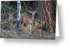 Mule Deer Doe With Fawns Greeting Card