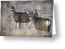 Mule Deer Does Greeting Card