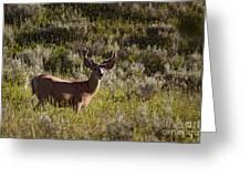 Mule Deer In Velvet   #2114 Greeting Card