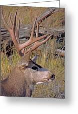 Mule Deer Greeting Card