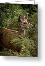Mule Deer On Alert Greeting Card