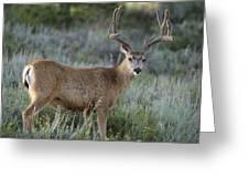 Muley Buck In Velvet Greeting Card