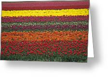 Mult-colored Tulip Field Greeting Card