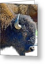 Multi-color-eyed Bison Near Wildlife Loop Road In Custer State Park-south Dakota Greeting Card
