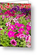 Multi-colored Blooming Petunias Background Greeting Card