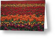 Multi-colored Tulip Fields  Greeting Card