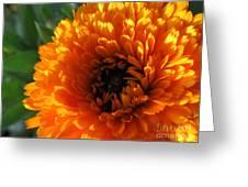 Multi Petals African Daisy Greeting Card