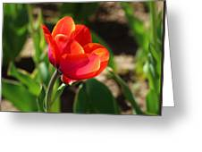 Multicolored Tulip Greeting Card
