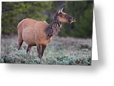 Munching Elk Grand Teton National Park Greeting Card