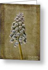 Muscari Armeniacum With Textures Greeting Card by John Edwards