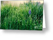 Muscari Or Grape Hyacinth Greeting Card