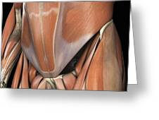 Muscles Of The Lower Abdomen Greeting Card