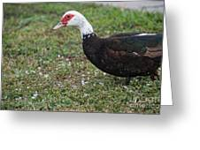 Muscovy Ducks Greeting Card