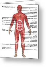 Muscular System In Male Anatomy Greeting Card