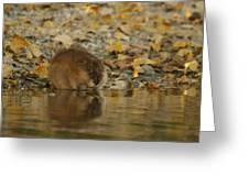 Muskrat Reflection Greeting Card