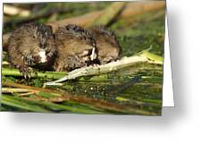 Muskrat Trio Greeting Card