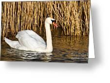 Mute Swan By Reed Beds Greeting Card