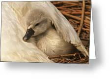 Mute Swan Cygnet Under Wing Greeting Card