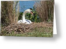 Mute Swan Nest Greeting Card