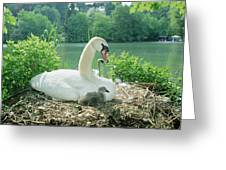 Mute Swan Parent And Chicks On Nest Greeting Card by Konrad Wothe