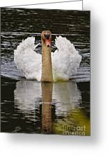 Mute Swan Pictures 141 Greeting Card