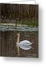 Mute Swan Pictures 143 Greeting Card