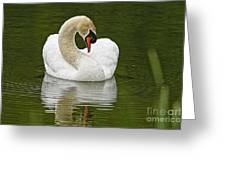 Mute Swan Pictures 191 Greeting Card