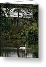 Mute Swan Pictures 199 Greeting Card