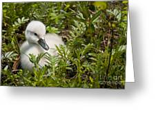 Mute Swan Pictures 210 Greeting Card