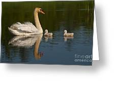 Mute Swan Pictures 244 Greeting Card