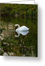 Mute Swan Pictures 85 Greeting Card