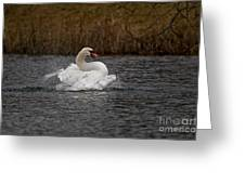 Mute Swan Pictures 97 Greeting Card